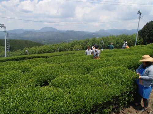 新緑まぶしい!お茶摘み体験!5月の里山体験「おいしい村」